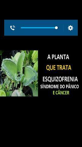 Plantas medicinas - Foto 3