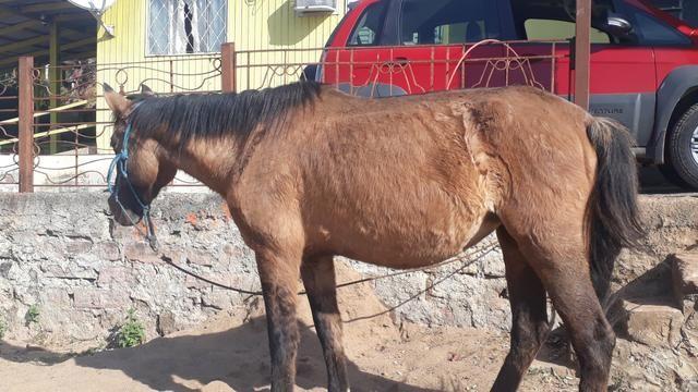 Cavalos crioulos - Foto 2