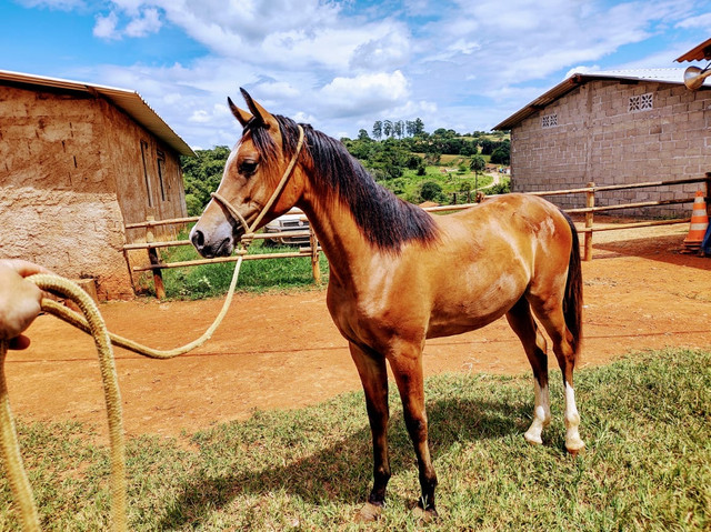Potro 1/2 sangue árabe 1/2 sangue paint horse  - Foto 3