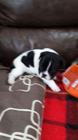 Vende-se bulldog francês  - Foto 4