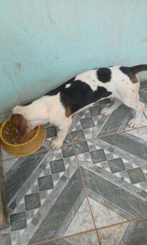 Beagle com americano 1 mese - Foto 5