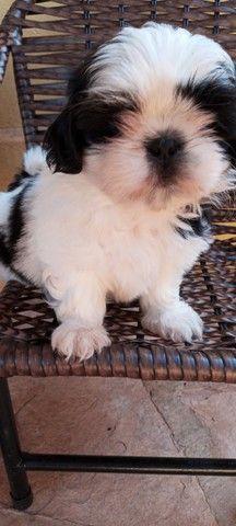Cachorro raça shitzu - Foto 2