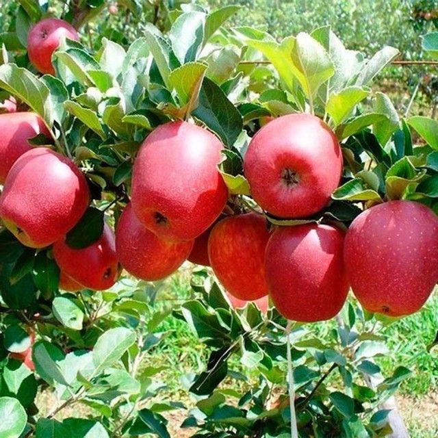 mudas de pera e maçã produzindo - Foto 6