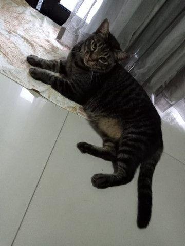 Gato fofuxo para adoção - Foto 4
