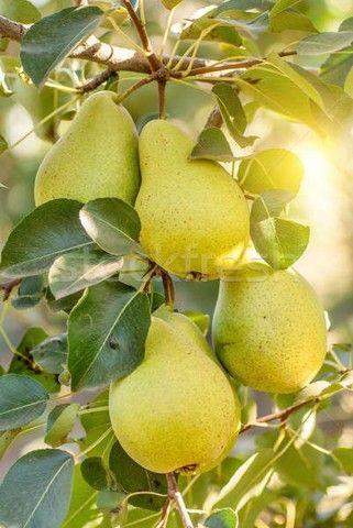 mudas de pera e maçã produzindo - Foto 2