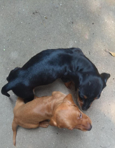Cachorro salsichinha - Foto 4