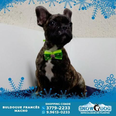 Bulldog Francês Macho - Tigrado - Snow Dog Shopping Cidade