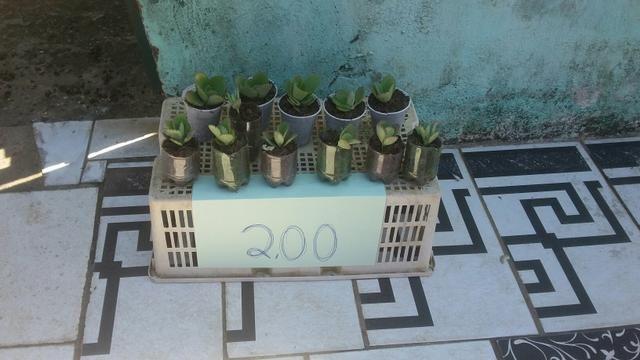 Plantas medicinas - Foto 2