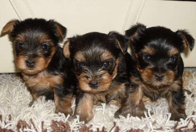 Belos filhotes de Yorkshire Terrier