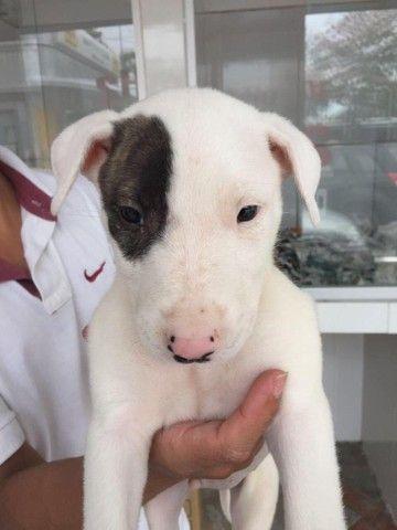 Bull terrier inglês com garantia de saúde em contrato  - Foto 2
