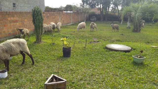 Ovelhas  - Foto 2