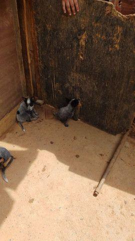 Filhotes de boiadeiro australiano - Foto 4
