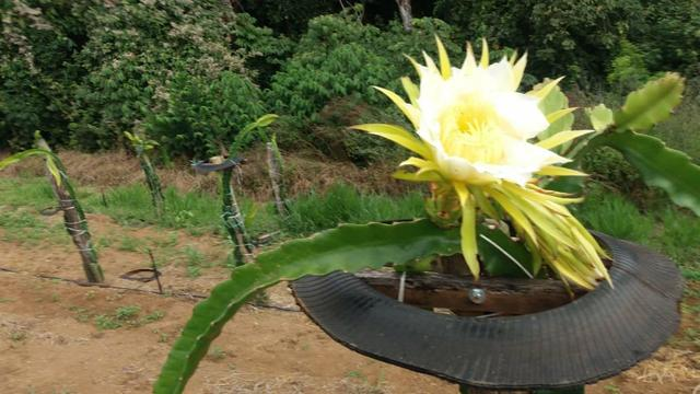 Mudas de pitaya - Foto 4