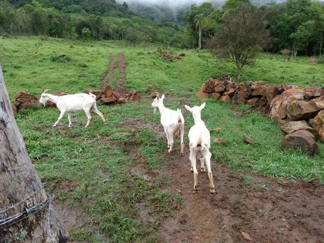 3 cabras saanen - Foto 3