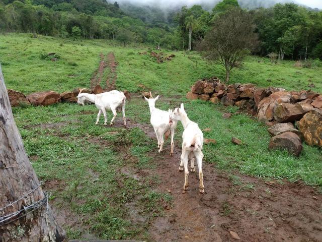 3 cabras saanen - Foto 4