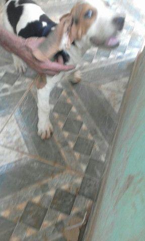 Beagle com americano 1 mese - Foto 4