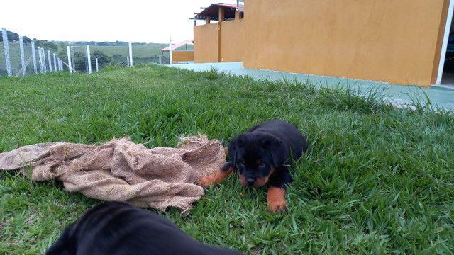 Vendo Rottweiler tel * - Foto 6