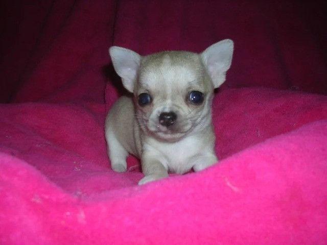 Chihuahua machinhos e fêmeas com garantias de vida e de saúde! - Foto 3
