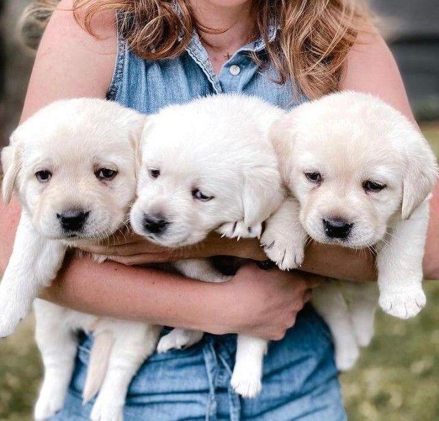 Belos filhotes de Labrador - Foto 2