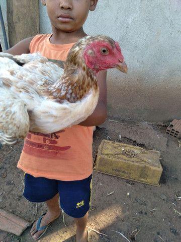 galinhas - Foto 2