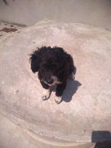 Doa-se Filhote macho Poodle - Foto 4