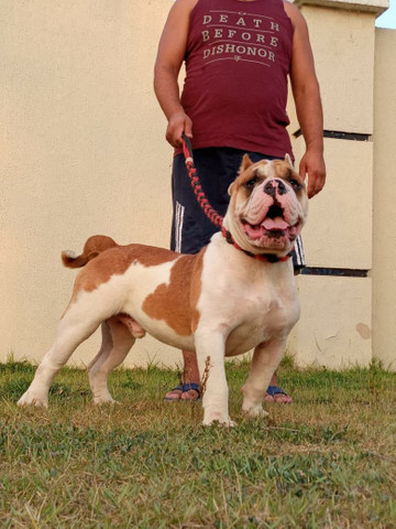 Exotic bully merle macho  - Foto 3