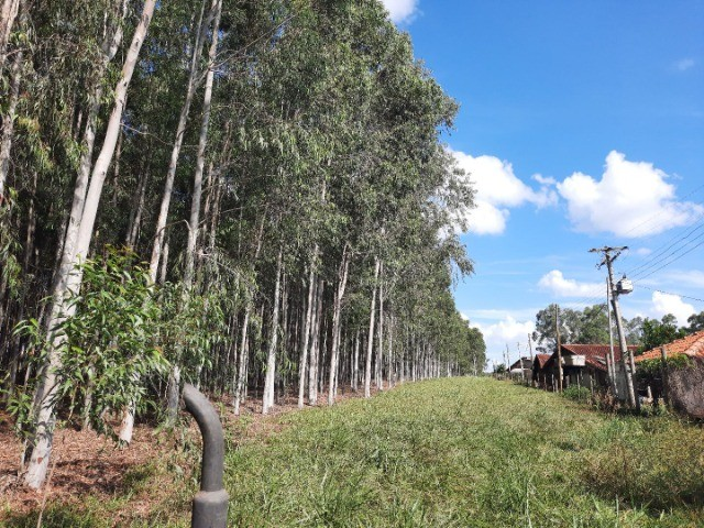 Vendo quadro de eucalipto citriodora - Foto 4