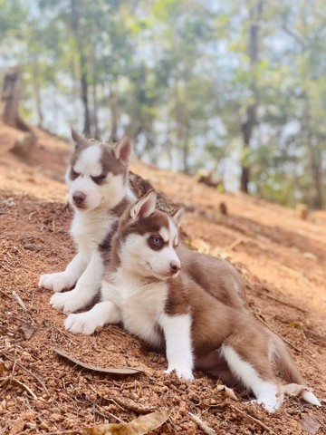Husky siberiano compre já * - Foto 5