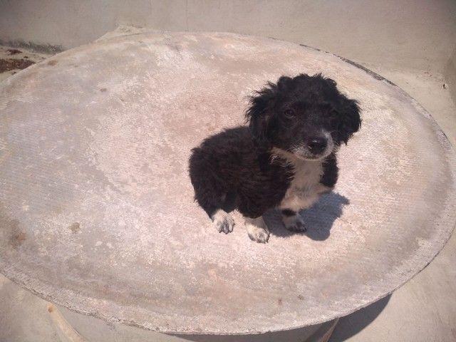 Doa-se Filhote macho Poodle - Foto 6