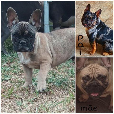 Bulldog francês Merle - Foto 2