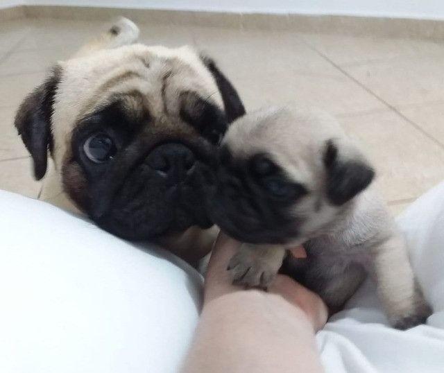 Pug - Filhotes de Veterinária