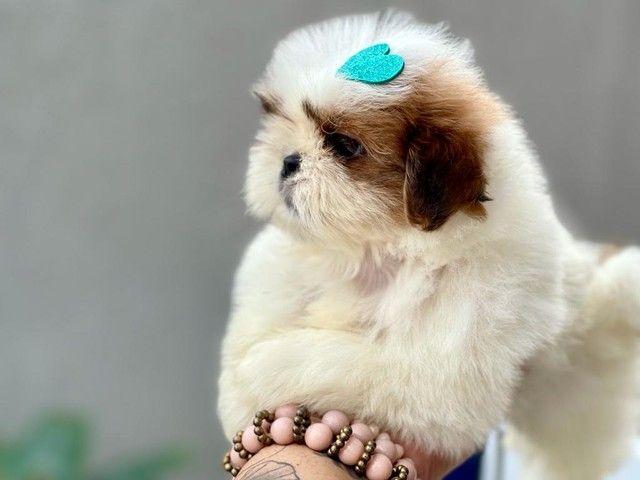 Excelente filhote de Shih Tzu com Pedigree disponível para entrega  - Foto 4