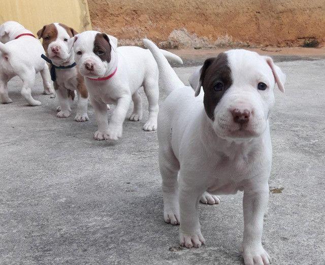Pitbull BlueNose/RedNose/BlackNose Assistencia veterinaria gratuita - Foto 5