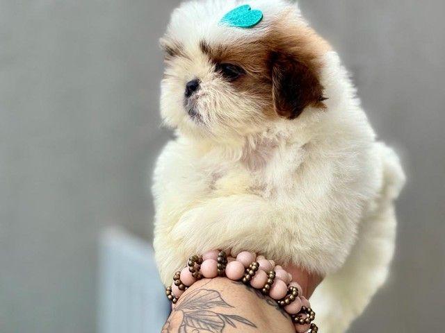 Excelente filhote de Shih Tzu com Pedigree disponível para entrega  - Foto 5