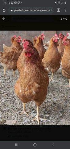 Vendo galinhas  - Foto 2