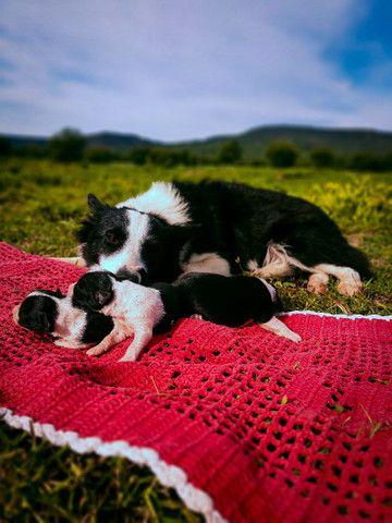 Filhotes de borde collie - Foto 3