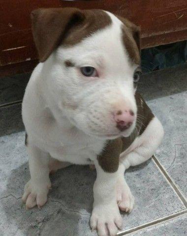 Pug preto/abricot, oferecemos suporte veterinário exclusivo em todo Brasil! - Foto 4