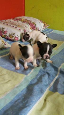 Bulldog francês - Foto 2