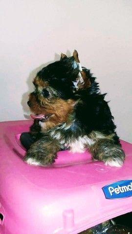 Pronta Entrega de Yorkshire Terrier Fêmea - Foto 6