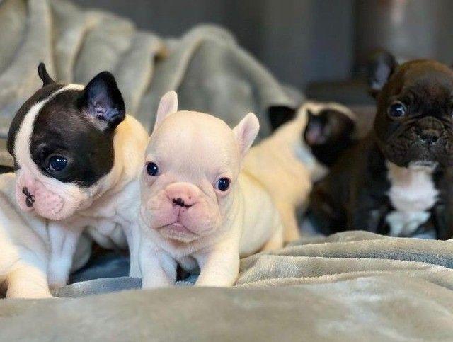 Bulldog Francês com garantia - Foto 2