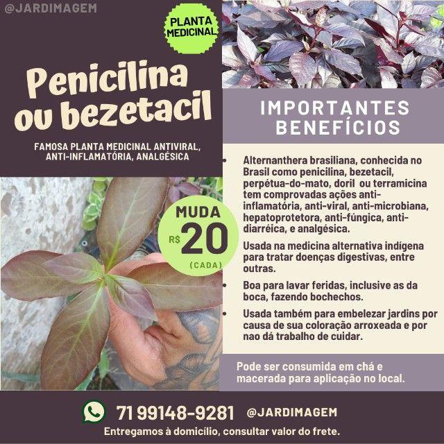 Mudas de Penicilina Vegetal - Bom pra o estômago, feridas, anti-inflamatório - Foto 3