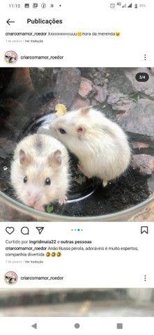 Lindos filhotes de  Anao Russo (Hamster) criação responsável ! - Foto 6