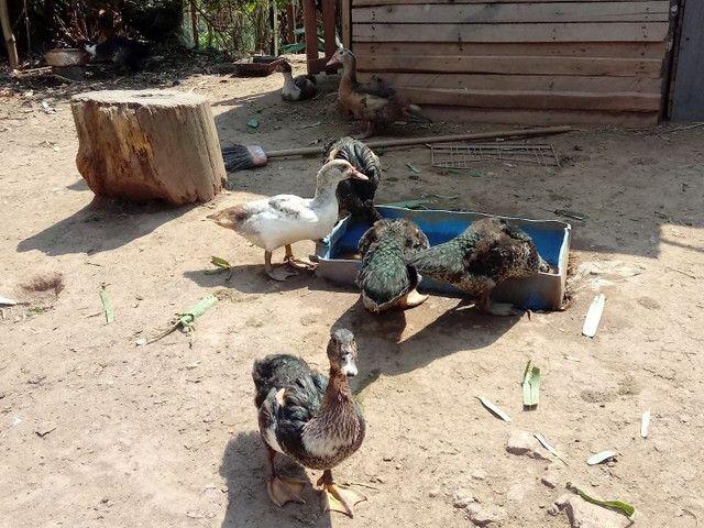 Patos  - Foto 2