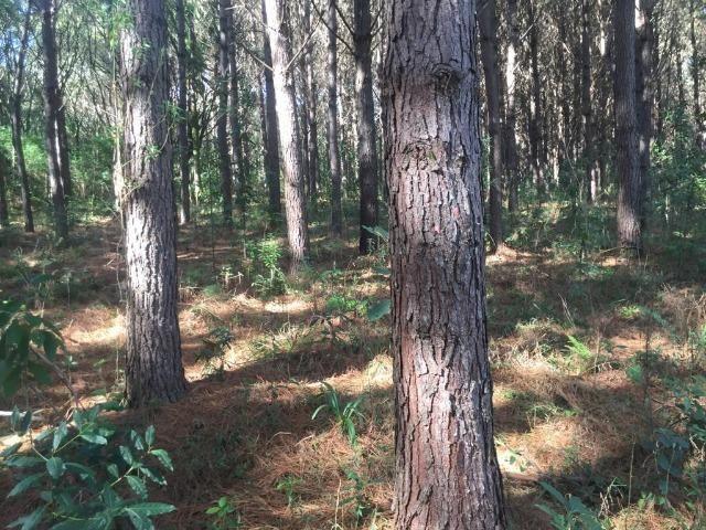 Floresta de Pinus