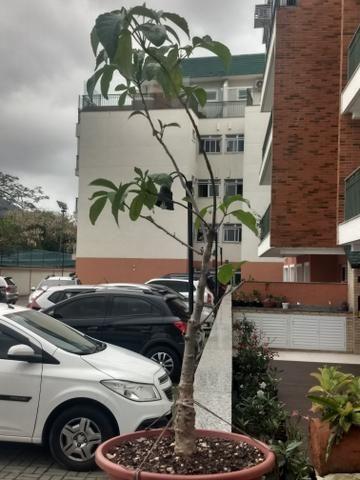 Muda de Baobá