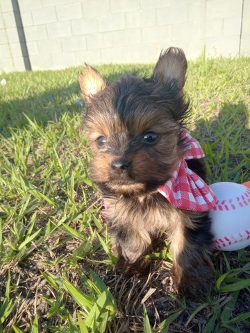 Yorkshire terrier a pronta entrega  - Foto 4