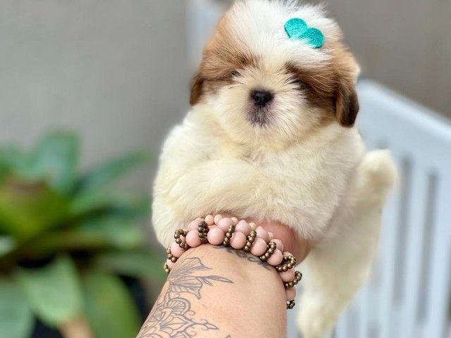 Excelente filhote de Shih Tzu com Pedigree disponível para entrega  - Foto 2
