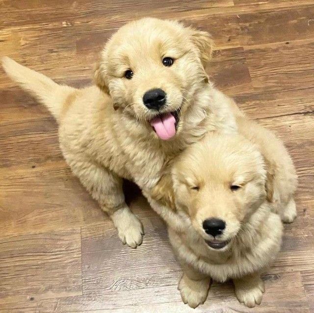 Filhotes de Golden Retriever prontos a entrega - Foto 2