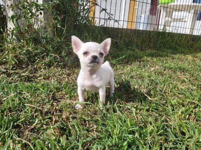 Chihuahua Lindos filhotes, á pronta entrega, garantia total de saúde em contrato - Foto 3