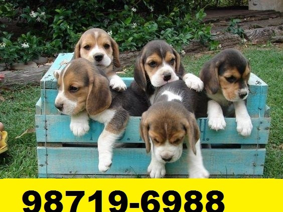 Beagle Mini Filhotes Tricolores Perfeitos - Foto 2
